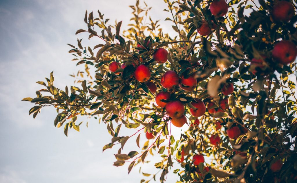 5 IDEAL BEGINNER'S TIPS FOR GROWING APPLE TREES