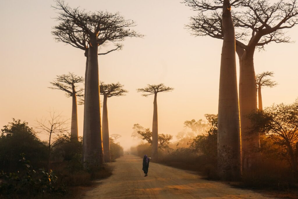 sunset stroll Avenue of Baobabs