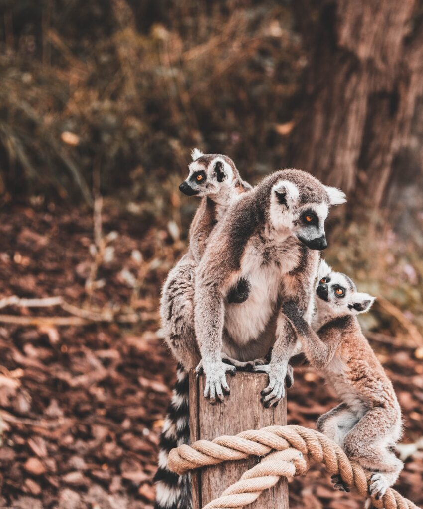 lemur in Andasibe-Mantadia Natinal Park